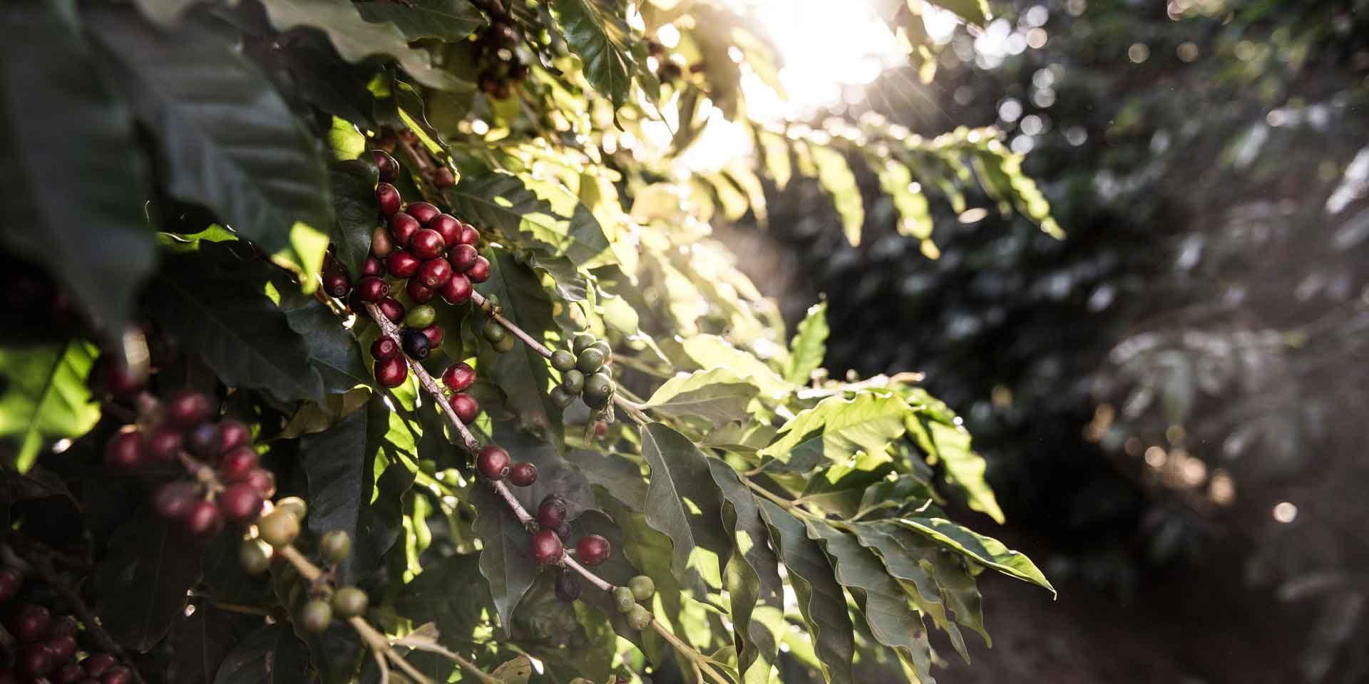 Kaffeepflanze mit Kirschen
