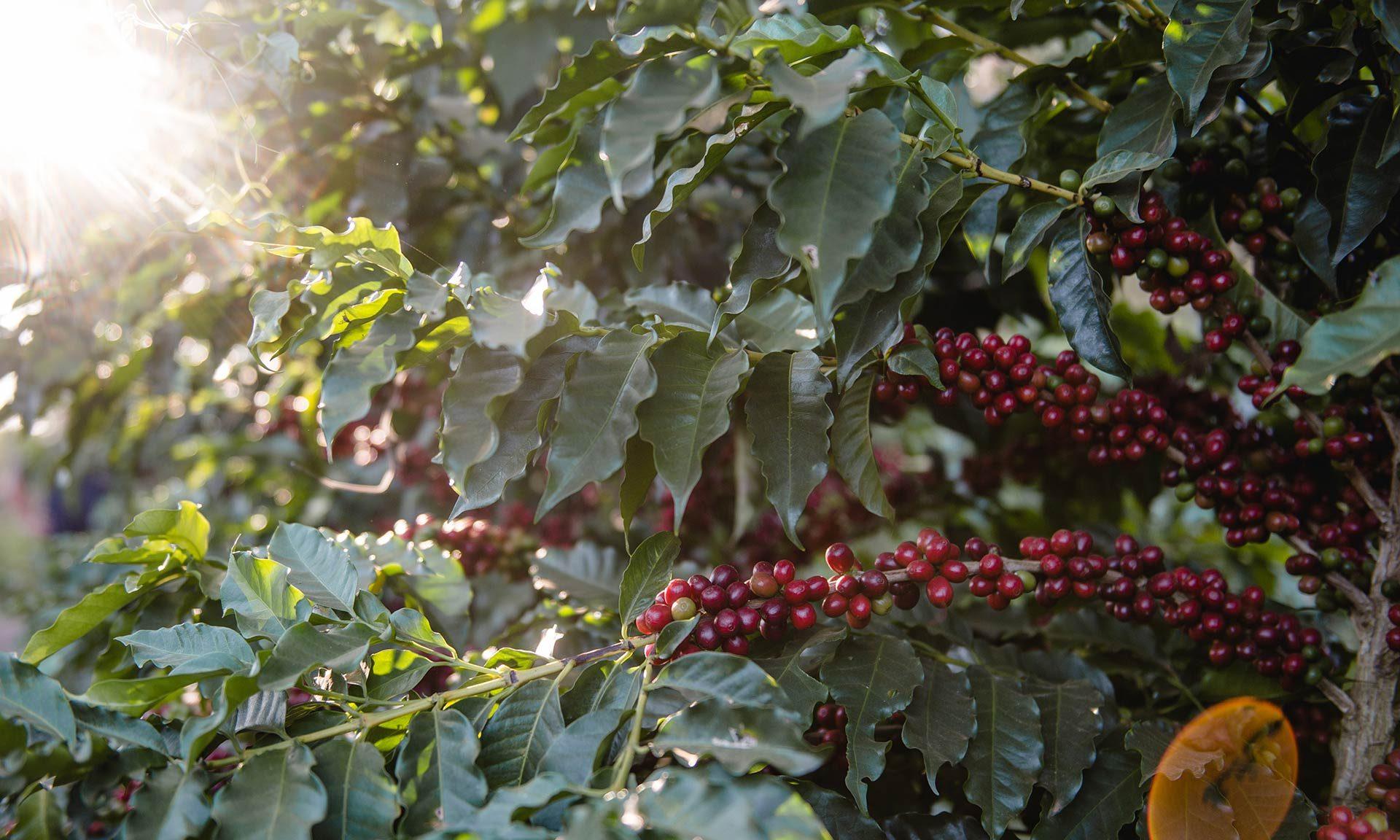 Kaffee hat eine bewegte Geschichte